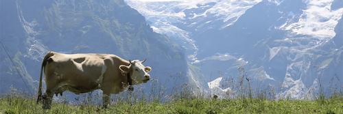 Há males que vem para o bem, ou sobre vacas e precipícios.